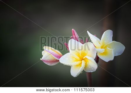 White And Yellow Plumeria Flowers (plumeria)