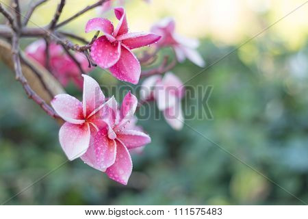 Pink Plumeria Flowers (plumeria)