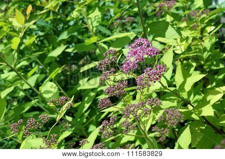 Japanese Spiraea