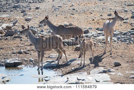 Kudu (strepsiceros zambesiensis) in the savannah of Etosha National Park