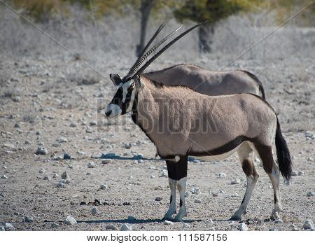 Oryx antelope (Oryx) in the savanna from the Etosha National Park