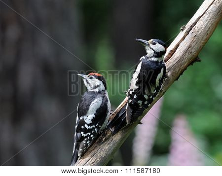 Two Great Spotted Woodpeckers