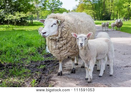 White Mother Sheep And Lamb Standing On Road