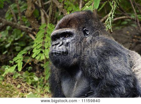Big black gorilla outdoors