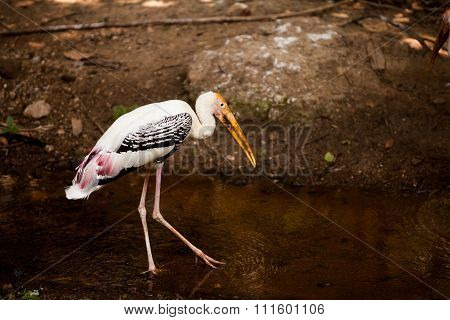 Painted Stork/painted Stork Walk In The Water.
