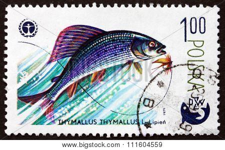 Postage Stamp Poland 1979 Grayling, Freshwater Fish