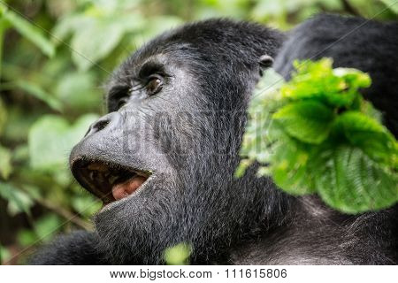 Gorilla with leaves