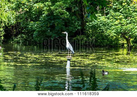 Image Of Grey Heron Ardea Cinerea Near Lake In London Park In Summer. Selective Focus