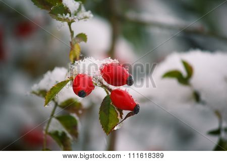 Rosehip Berries Covered With Snow Close-up. Winter