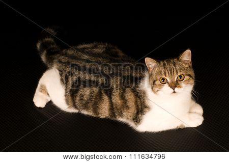 Scottish cat portrait
