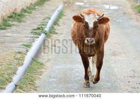 Cow walking along a road in Lokbatan, near Baku, capital of Azerbaijan