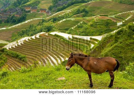 Donkey Rice Terrace Traditional Village Titian  Longji