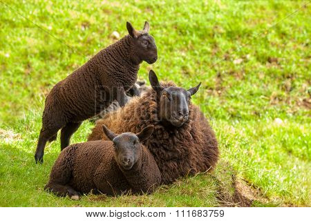Black Mother Sheep