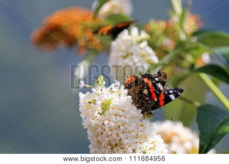 Butterfly bush, known as Buddleja davidii, in white (White Profusion flower) with Red Admiral butterfly (Vanessa atalanta rubria) on it.