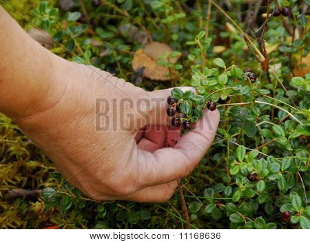 Picking Wild Cranberries