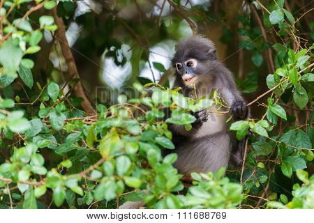 Dusky Leaf Monkey Spectacled Langur In Thailand