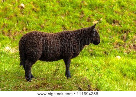 Highlander Black Lamb