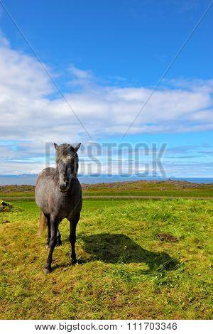 Farmer sleek gray horse. Beautiful horse grazing in a meadow near the farm. Iceland in July