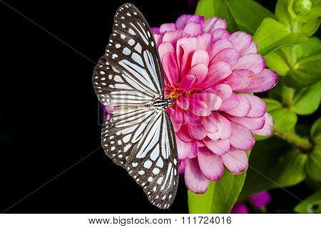 Butterflies And Zinnia Flower