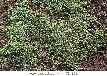 Young Clover Sprouts Densely Grow From Earth