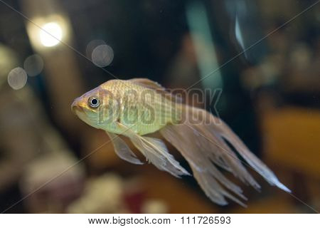 Fantail Goldfish Swimming In A Fish Tank