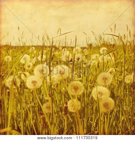 Dandelion field in grunge and retro style.