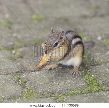 Chipmunk Eating Fried Potato