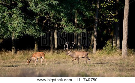 Red Deer And Hind