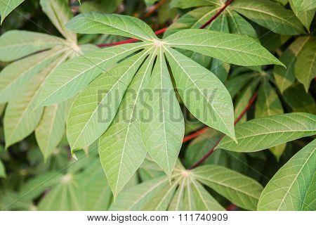 Close Up Of Cassava Or Manioc Plant Leave In Thailand.