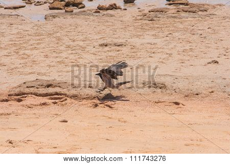 Crow flying over the beach
