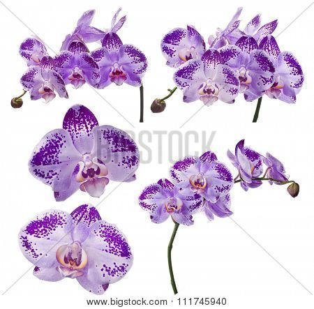 set of violet orchid flowers isolated on white background