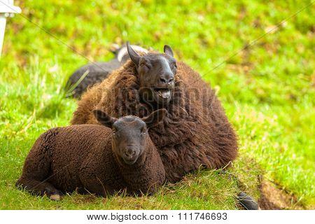 Highlander Black Sheeps