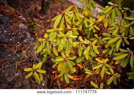 Schefflera Arboricola, Leaf Of Dwarf Umbrella Tree With Rain Drops