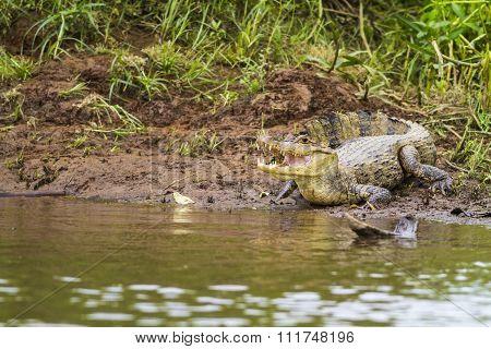 Cayman (caiman Crocodilus Fuscus)