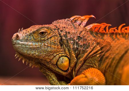 Close-up of curious Iguana reptile