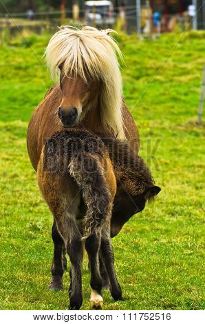Icelandic horse with a foal on a meadow near Reykjavik