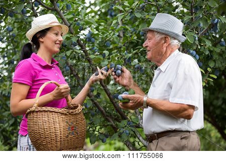 The younger woman helping an older man in the orchard, to pick plums, selective focus.