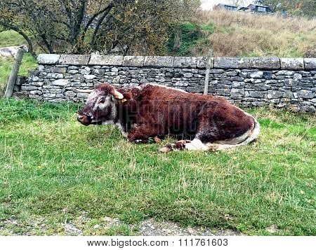Short Horn Cow, Rare Breed, taking a rest in Derbyshire field.