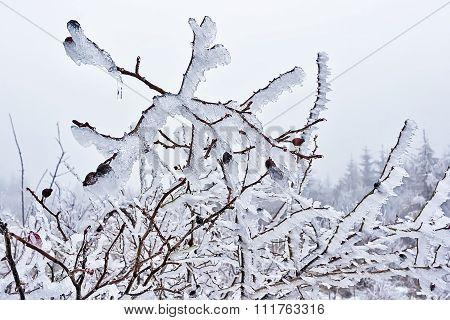 Rosehip In Ice 03