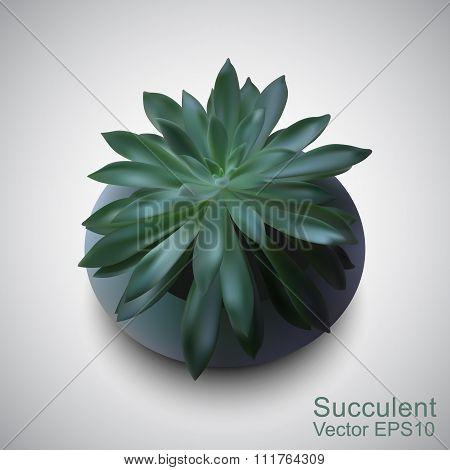 Vector Photo-realistic Succulent