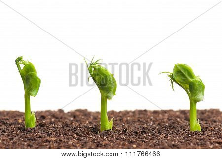 Young Sprouted Peas