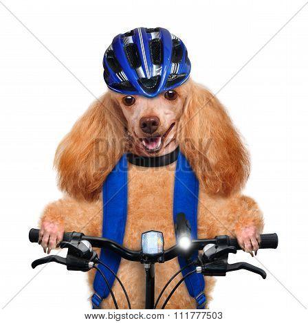 Dog cyclist.