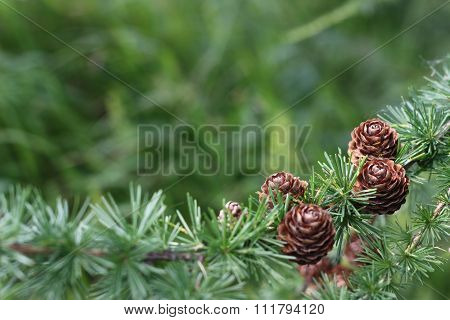 nature background with larch cones