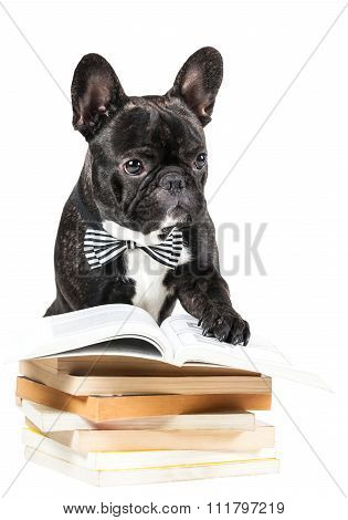 French Bulldog With Book