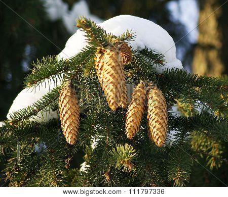Fir-tree branch with cones under snow cap