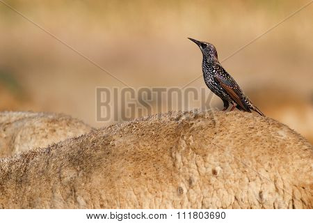 European Starling On The Sheep Back
