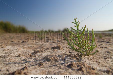 Glasswort On Dried Marsh