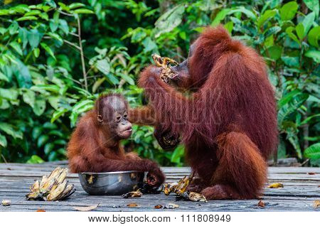 Baby Orang Utan sitting in a bowl with his mother, Indonesia