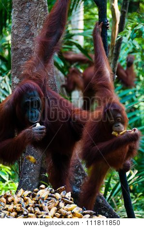 Three Orang Utan hanging on a tree in the jungle, Indonesia