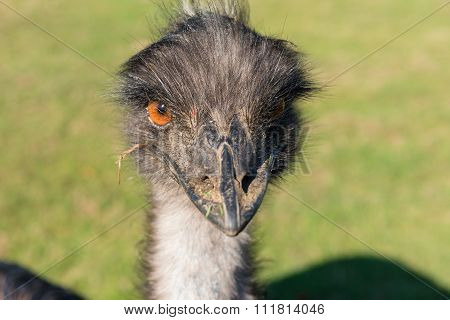 An Evil Looking Ostrich